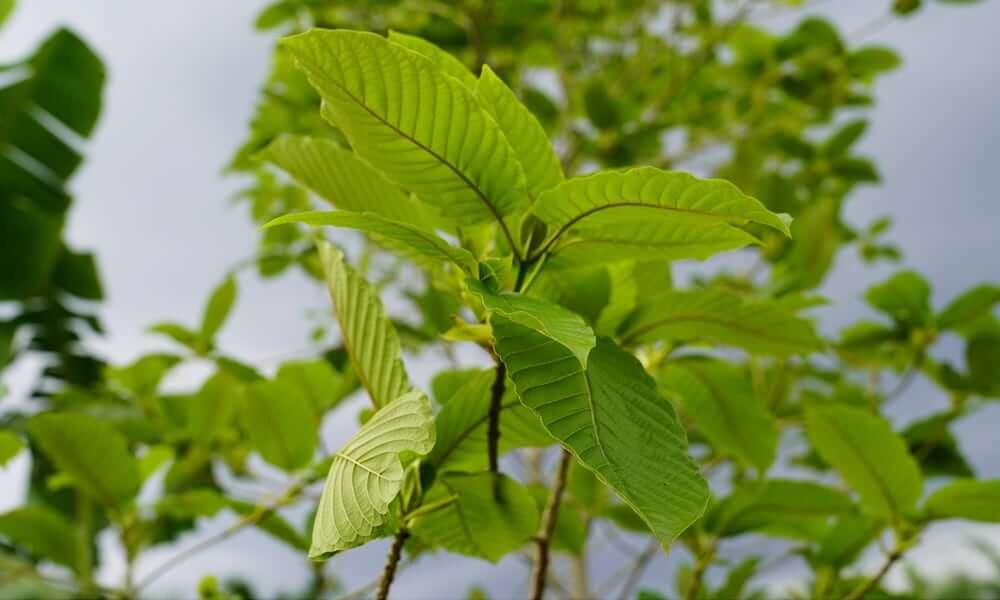 Natural Kratom plant