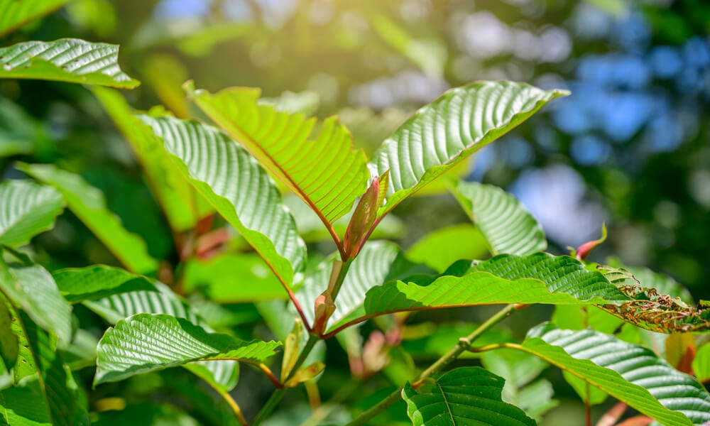 Natural Kratom Tree